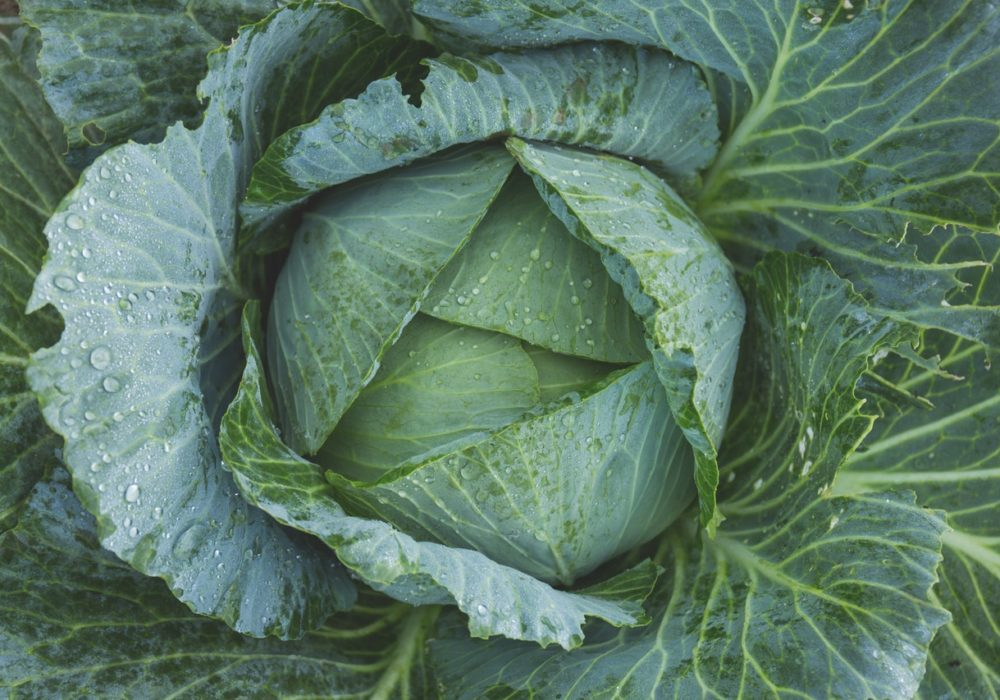 Cabbage juice health benefits